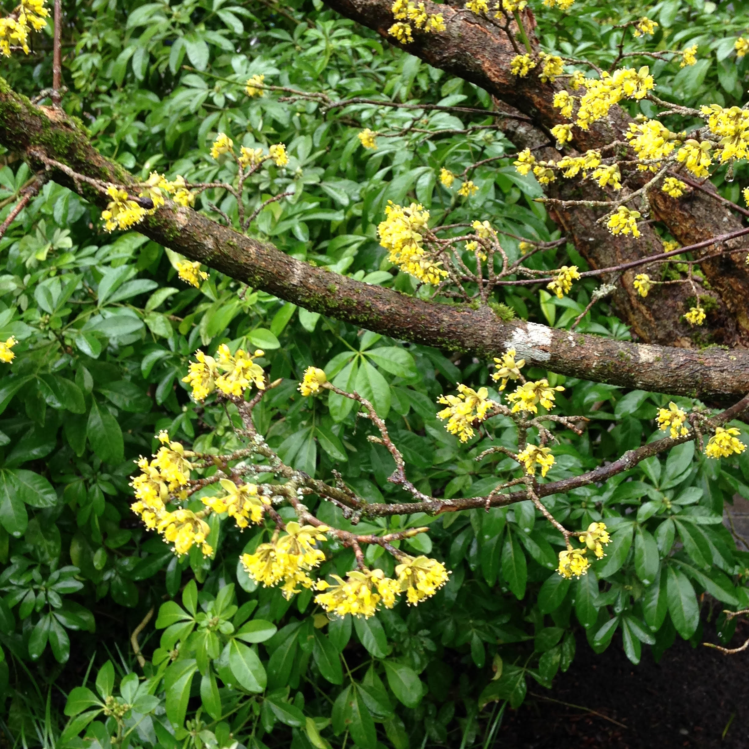 Two Favorite Spring Bloomers For Whidbey Island Gardens Tobey