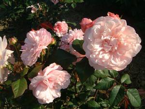 Gruss_an_Aachen Rose