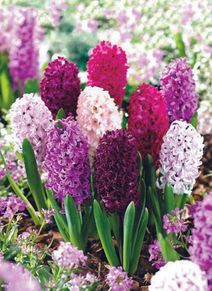 one of the best Valentine's Day flowers is Hyacinth