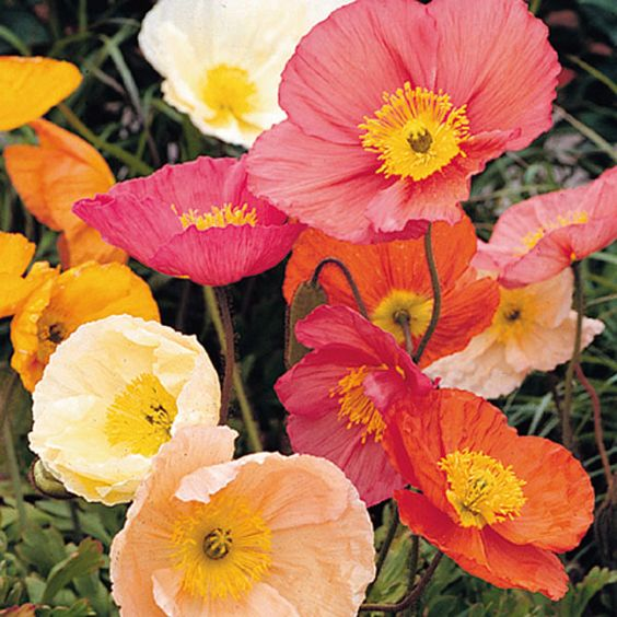 one of the best Valentine's Day flowers is Icelandic Poppy