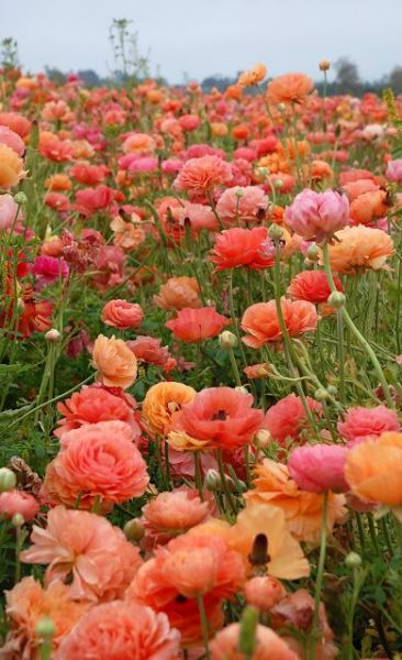 one of the best Valentine's Day flowers is Ranunculus