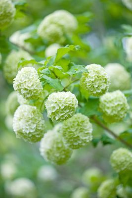 one of the best flowers for Valentine's Day is Viburnum