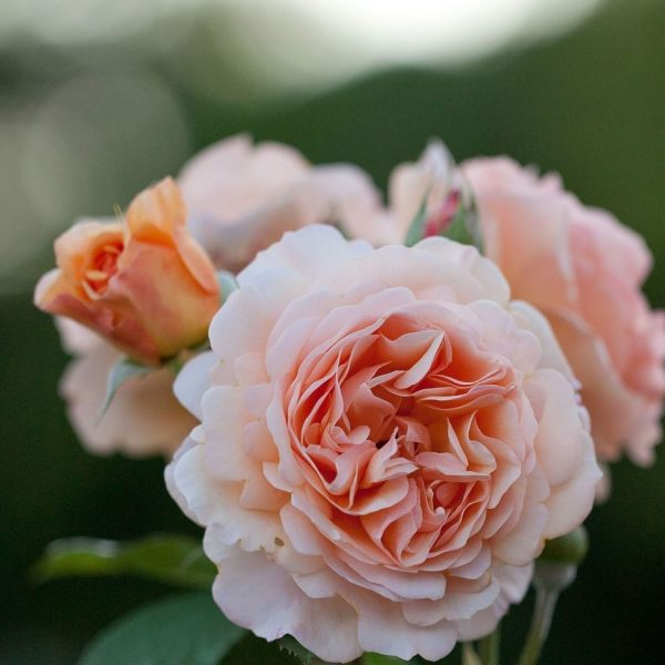 Garden Roses are my favorite summer wedding flowers
