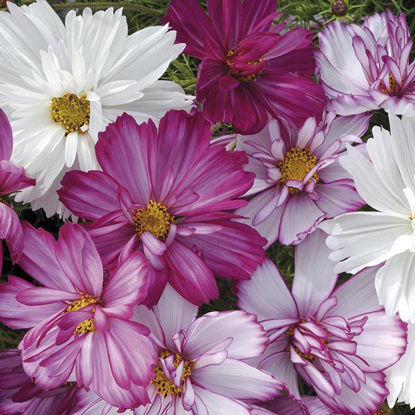 Cosmos flowers add magic to summer weddings
