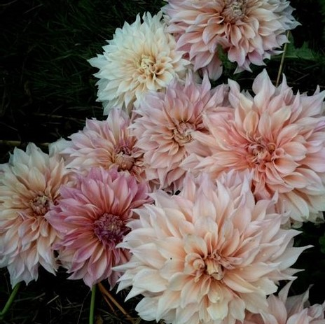 Cafe Au Lait Dahlia is the queen mother of all summer wedding flowers