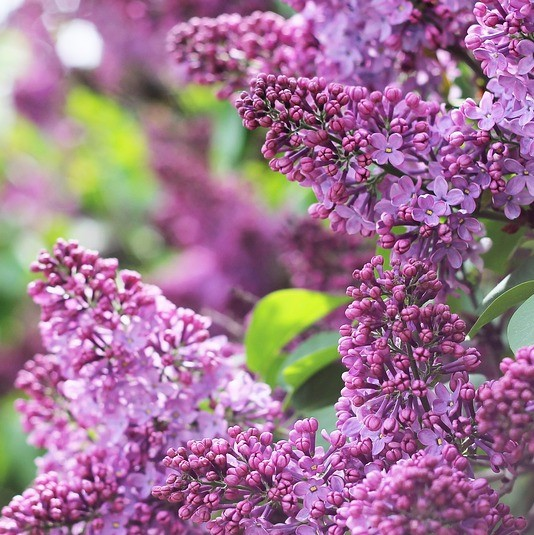 Lilac is a fragrant choice for spring wedding flowers