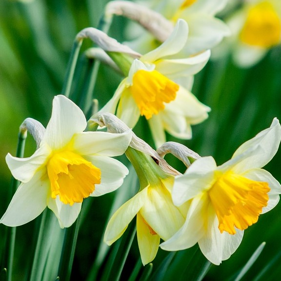 Narcissus is sweet in spring wedding bouquets