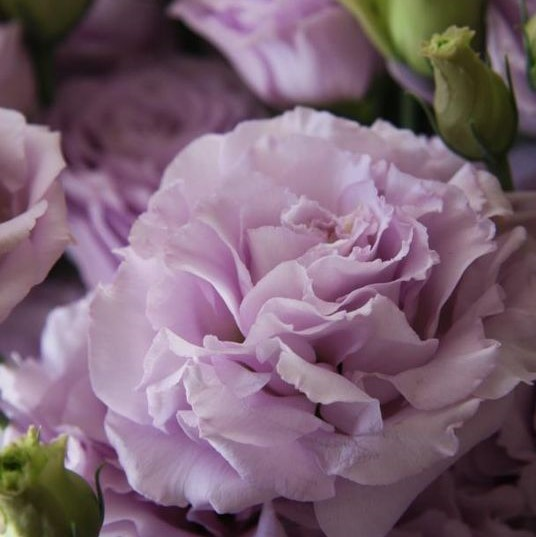 Lavender Lisianthus is a beautiful summer wedding flowers