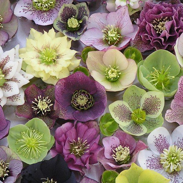 Hellebore is a great spring wedding flowers