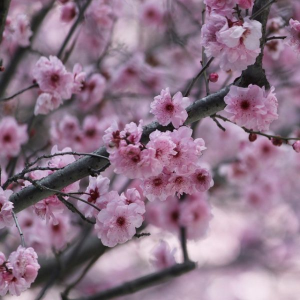 Cherry branches are great for large spring wedding flower arrangements