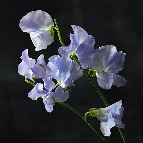 Sweet Pea provides fragrance in spring wedding flowers